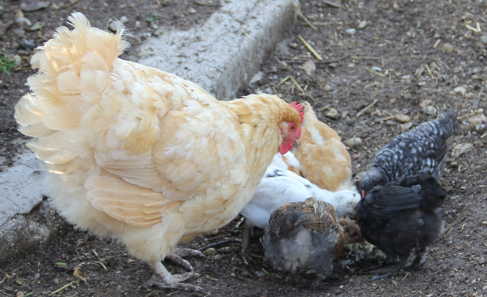 Hatch 2013 now at 6 weeks of age | Wandering Creek Acres