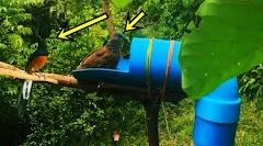 Buat Perangkap Burung Menggunakan Pipa Paralon Dan Botol Bekas Minuman Soda 100% Berhasil