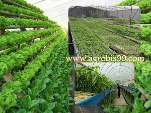 Tahapan Sukses Berhidroponik Kangkung Dalam Greenhouse