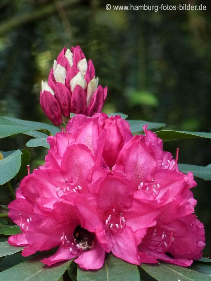 rhododendronpfad im stadtpark hamburg. Black Bedroom Furniture Sets. Home Design Ideas