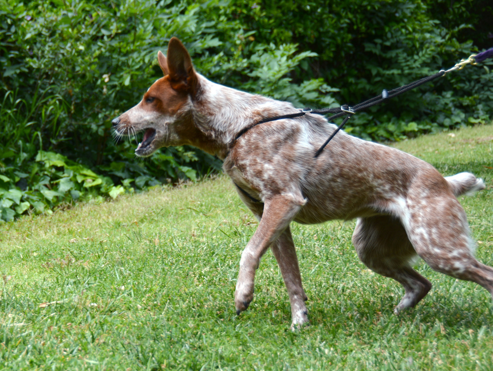 The Dog Geek: Product Review: Holt Control Harness