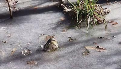 aligator hidup di air beku