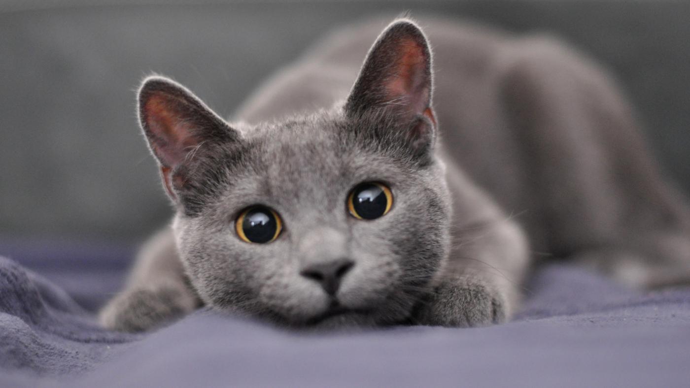 Hasil gambar untuk kucing abu abu