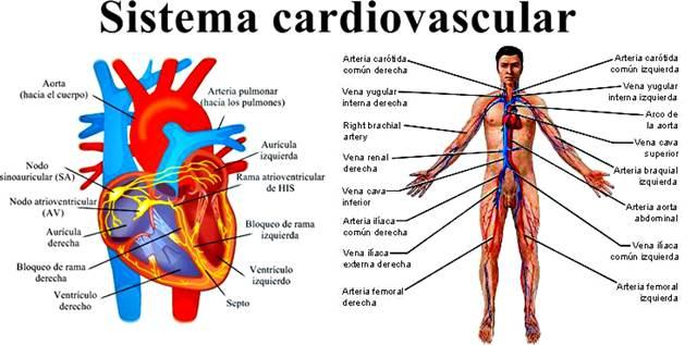 Sistema cardiovascular humano - corazón y vasos sanguíneos