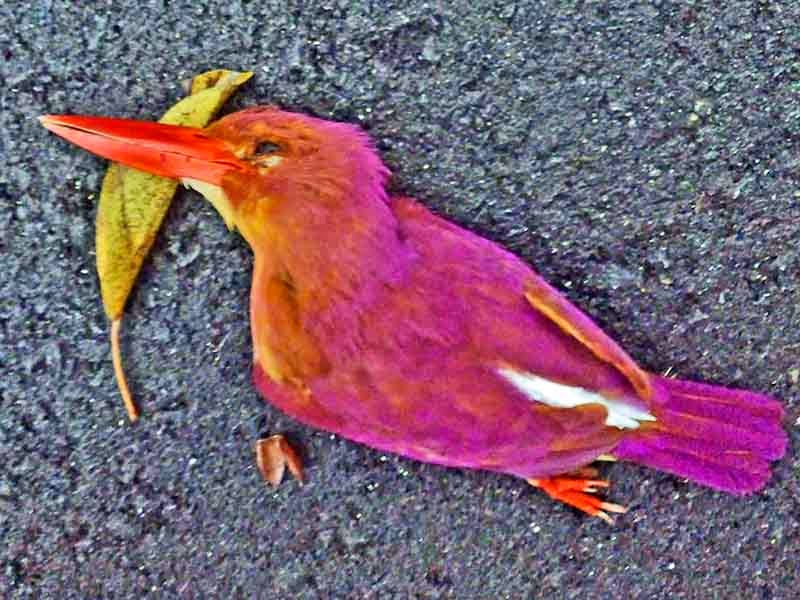 Dead Ruddy Kingfisher found on road