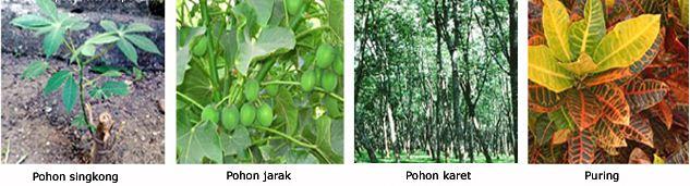 Pengertian dan Macam-macam Contoh Tumbuhan Dikotil