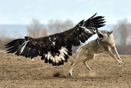 Águila Real Luchando Contra un Lobo
