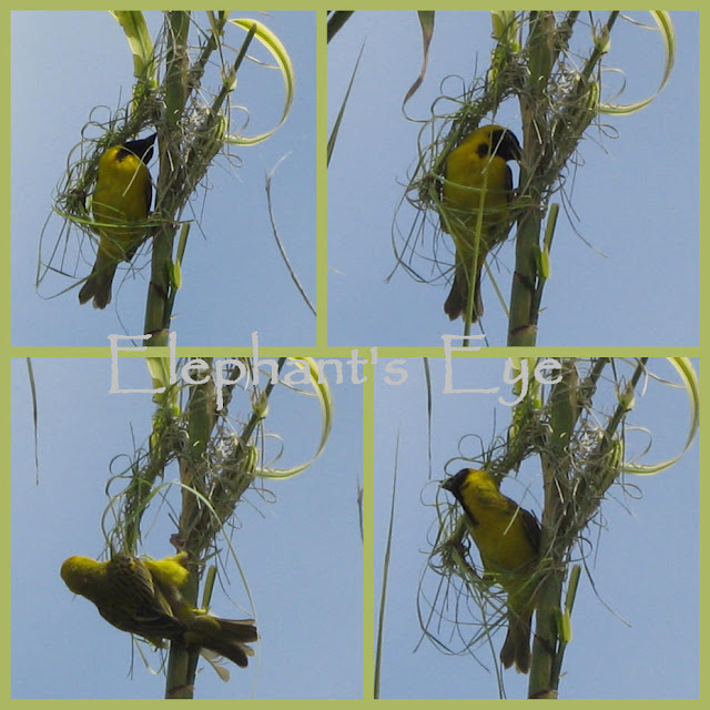2010 August weaver bird tying knots