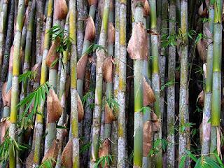jenis-bambu-apus.jpg