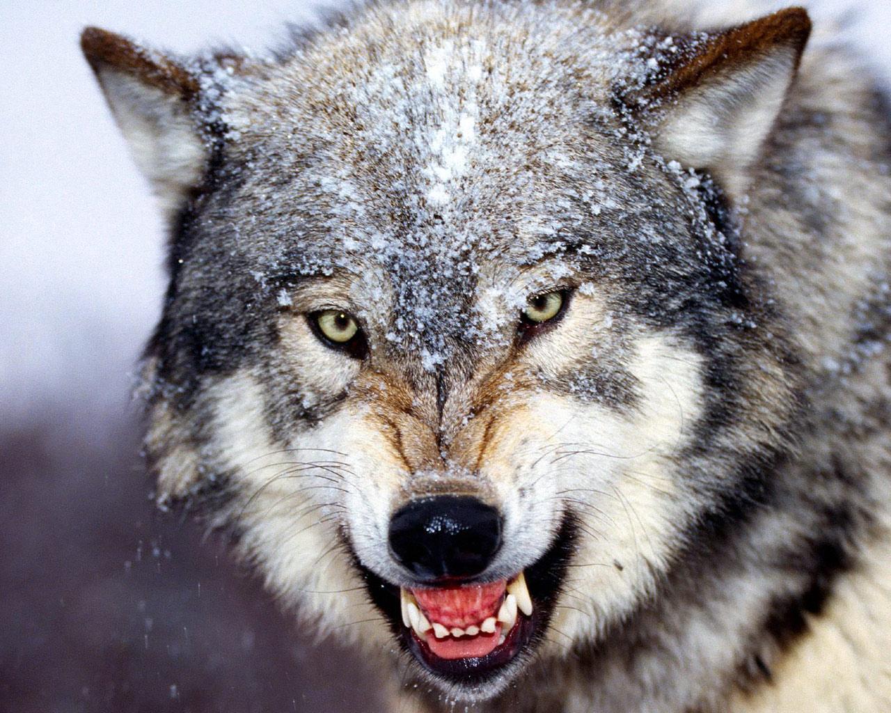 Wolves: Dark•Heritage: Sheep Among Wolves