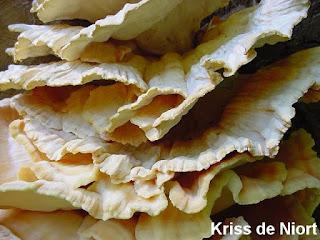 Polypore soufré - Laetiporus sulphureus