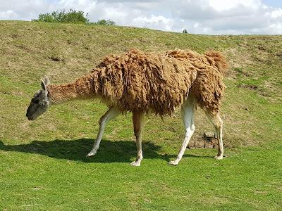 lamas-et-alpagas-en-liberte-dans-l-enclos-du-zoo