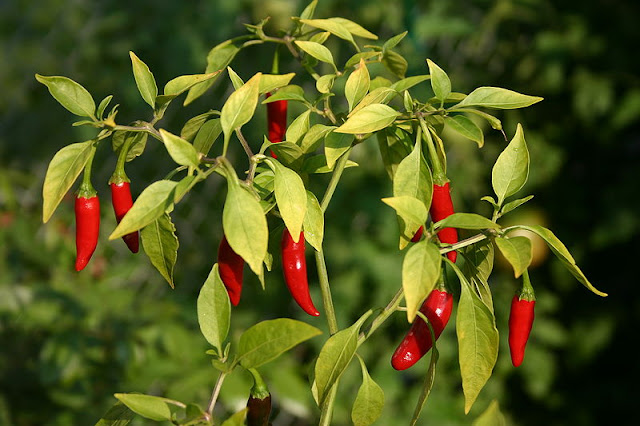 Benarkah Makanan Pedas Ambeien? mitos atau fakta