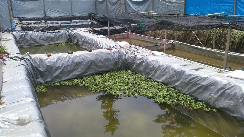 budidaya bawal di kolam beton