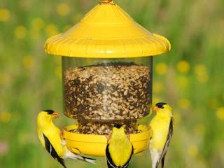 Pakan Untuk Burung Kicau (KIcau Mania Kenari, Murai Batu Medan)