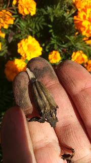 Zbieranie łusek z nasionami aksamitek