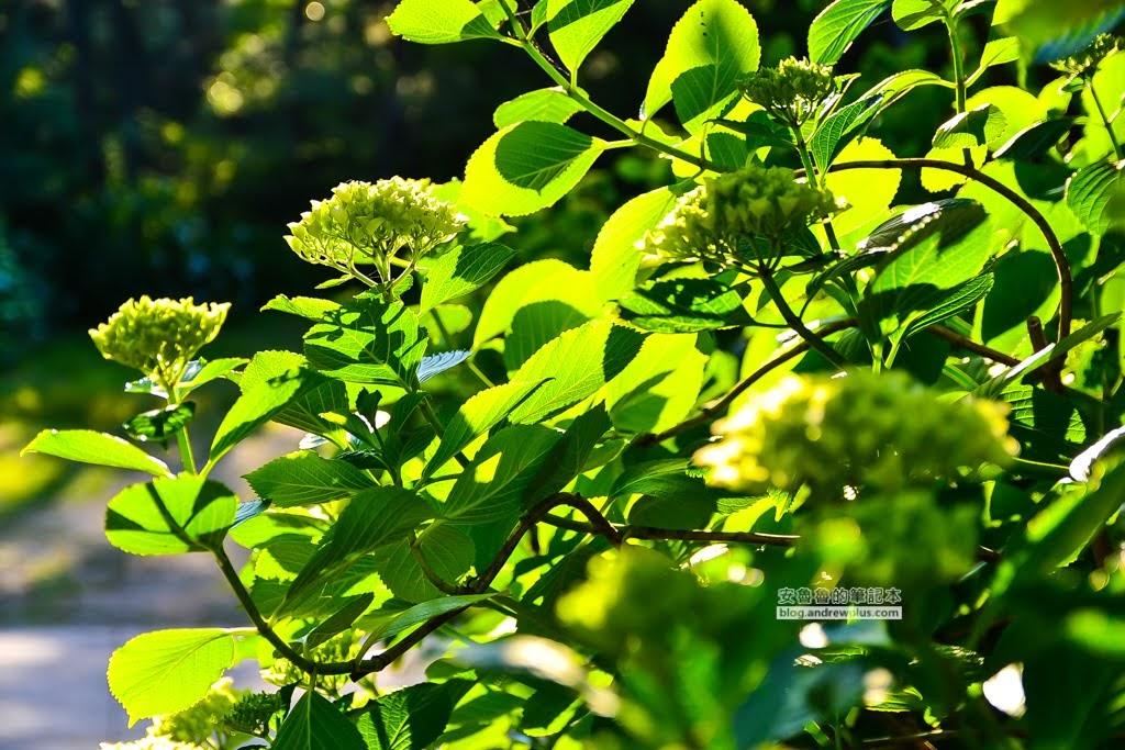 影島太宗台繡球花,太宗寺繡球花,太宗臺紫陽花,釜山影島景點