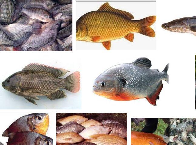 12 Ikan Air Tawar Konsumsi Dan Gambarnya Yang Potensial Di Budidayakan