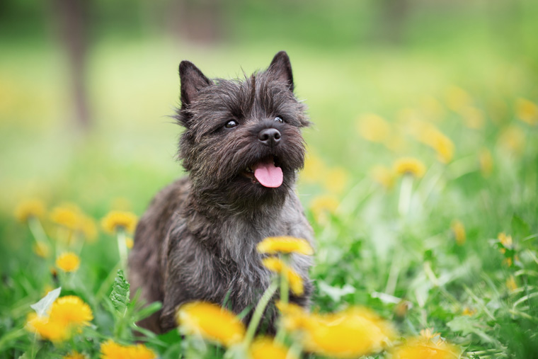 A Cairn Terrier sits in a flower-filled meadow