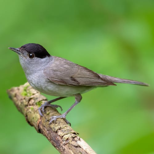 Male-Blackcap.jpg