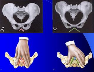 bentuk tulang pinggul pria dan wanita