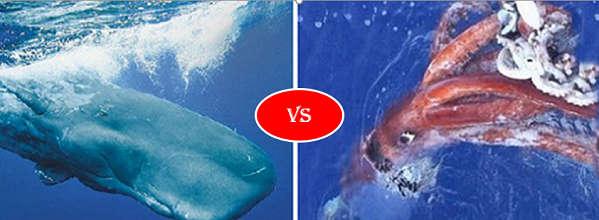 Sperm whale vs Colossal Squid