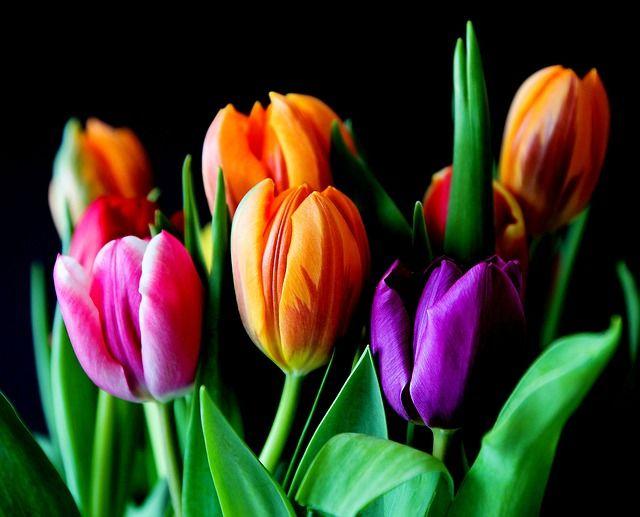 Tulip in Hindi