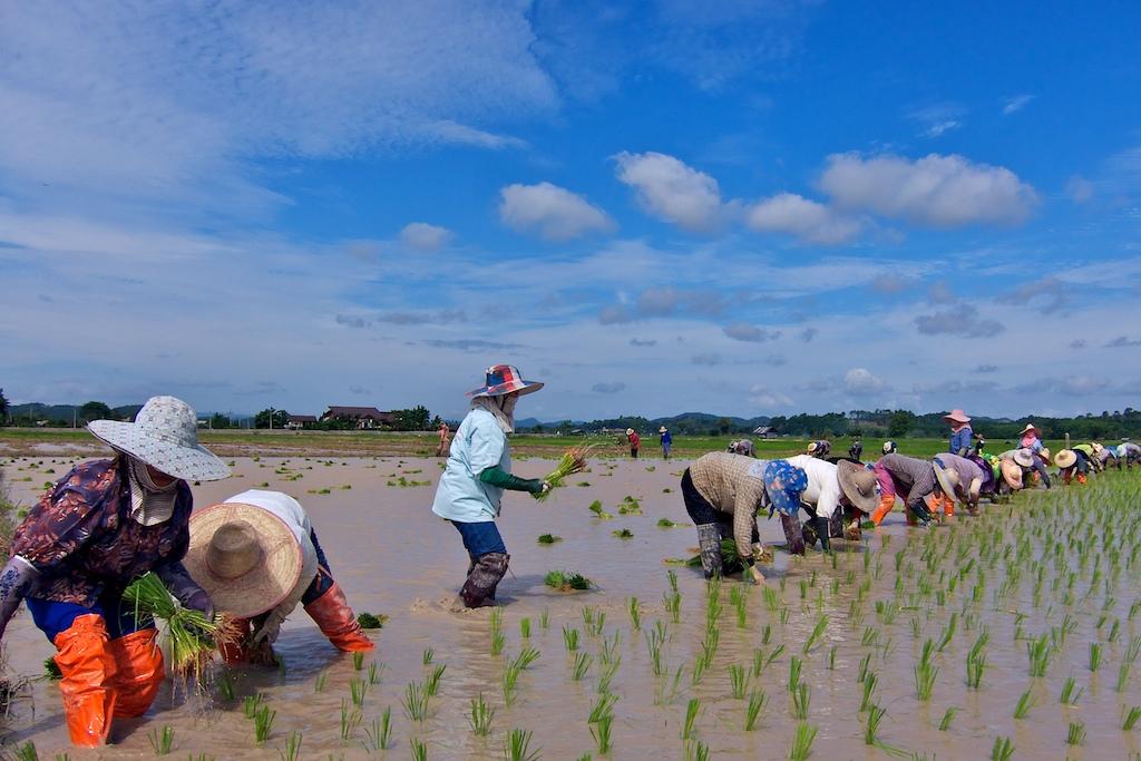 planting+rice++001.jpg