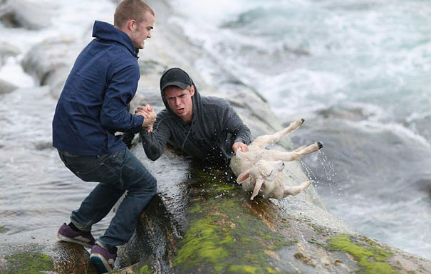 Two norwegian guys rescuing a baby lamb drowning in the ocean.