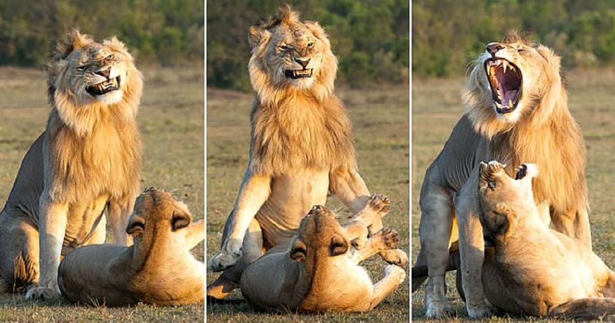Λιοντάρι το κάνει με την λιονταρίνα και η γκριμάτσα του δείχνει ποιος κάνει κουμάντο στο κρεβάτι