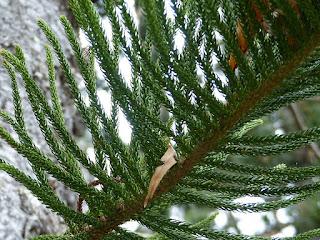 Pin de Cook - Pin colonnaire - Araucaria columnaris