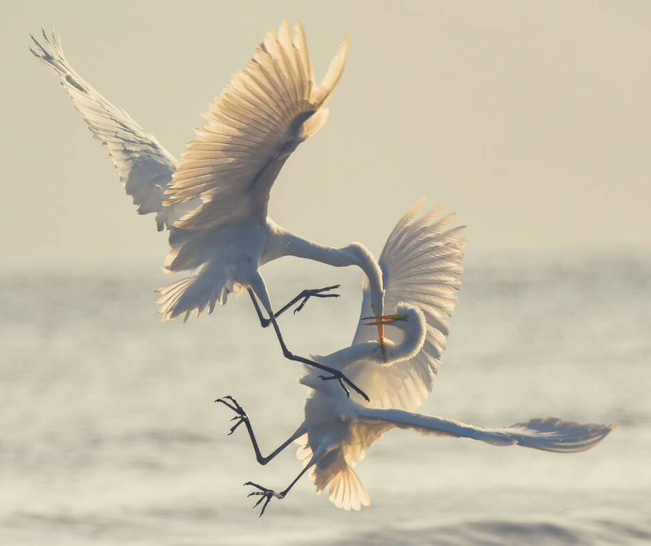 "Two large white birds fight in mid-air. The sea is blurred in the background. The bird on top has it's large orange beak around the neck of the other bird, its claws are about to grab the other birds wings. Image for ""Teaching your children about online gaming""."