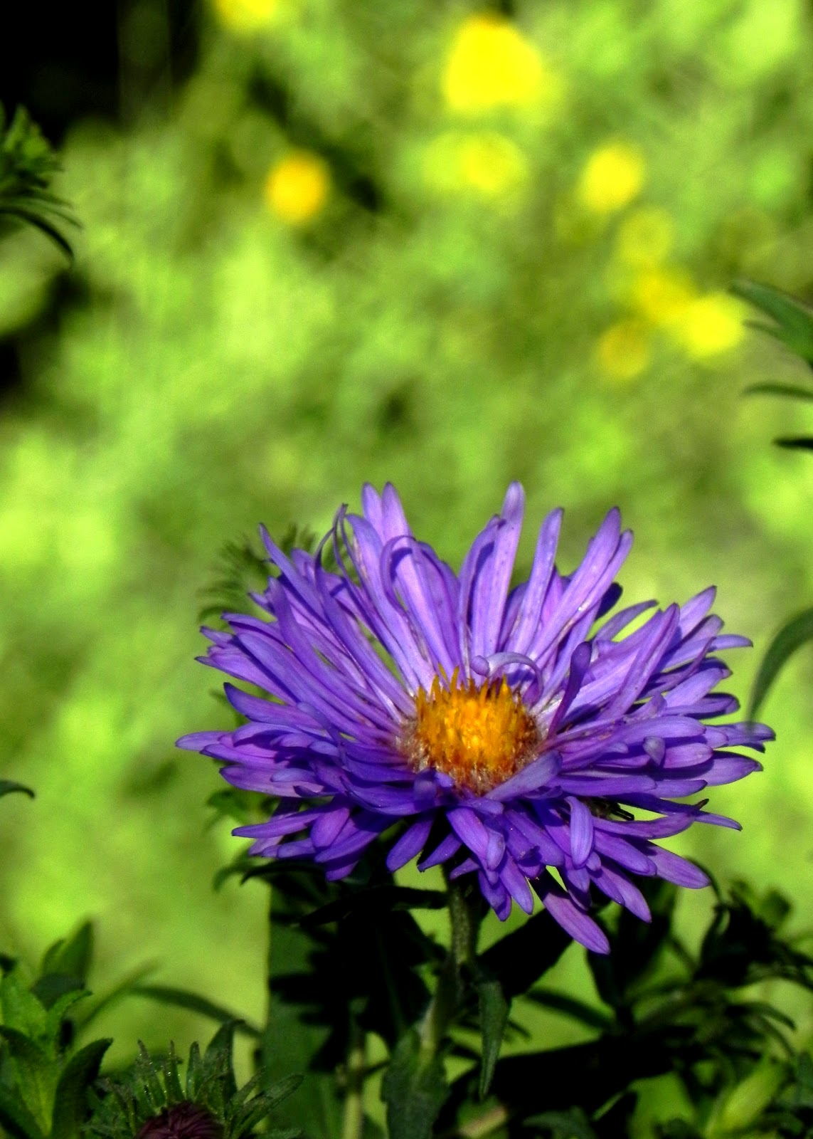 Power Of The Flower Today In The Garden Asters