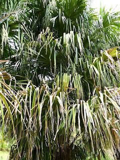 Livistona saribus - Palmier crocodile