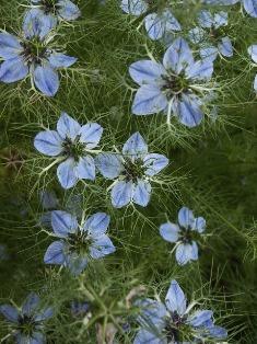 cuminum cyminum plant