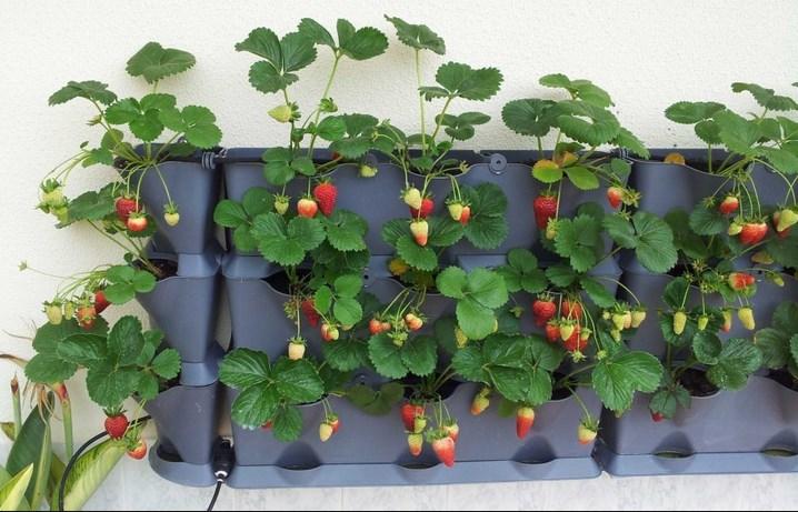 Itulah Alat Dan Bahan Yang Akan Anda Perlukan Untuk Menanam Strawberry Di Polybag Hidroponik