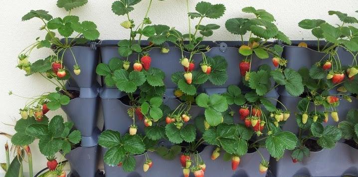 Cara Menanam Strawberry di Polybag dan Hidroponik