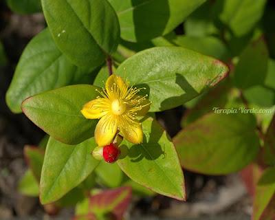 Benefícios da Erva-de-são-joão