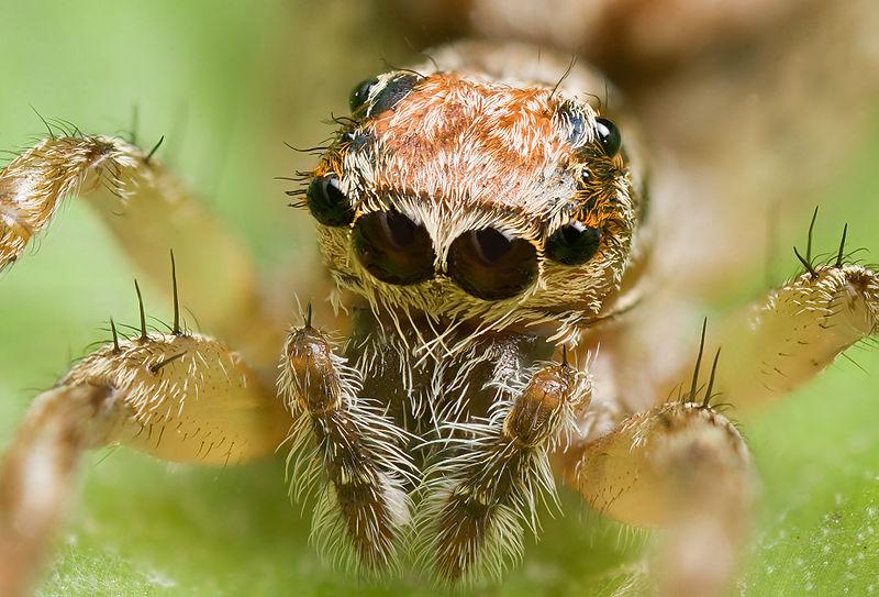 Arachnids: Clynotis severus, AF 1