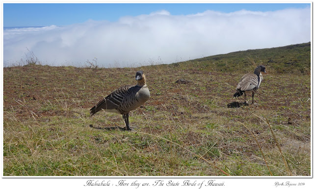 Haleakala: Here they are. The State Birds of Hawaii.