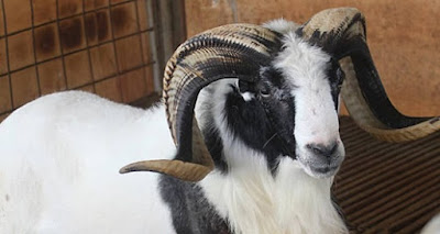 selain diadu domba garut untuk diternak dan dibudidayakan serta ekspor mancanegara