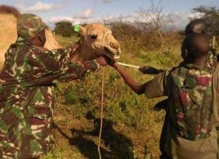 Arrin cusub: Kenya oo ka hortaga Qaraxyada Al-Shabaab u adeegsaneysa Geel la tababaray