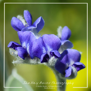 Silverleaf Psoralea. Copyright © Shelley Banks, All Rights Reserved.