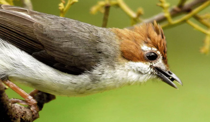 Burung Yuhina Kalimantan