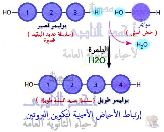 الأحماض النووية وتخليق البروتين - خطة بناء البروتين - البلمرة - الرابطة الببتيدية - الثالث الثانوى