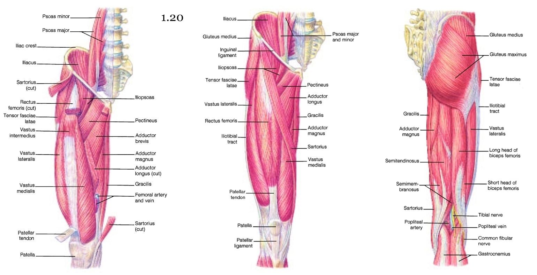 Medial Lower Leg Muscles Diagram 2002 Gm Stereo Wiring Mini Handbooks Hip And Limb