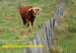 tehlikeli sığırlardan kaçma