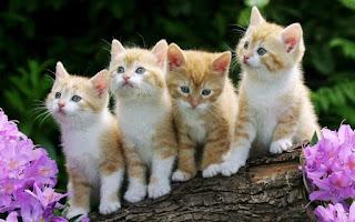 kenapa kucing mengeong ketika dipanggil pus