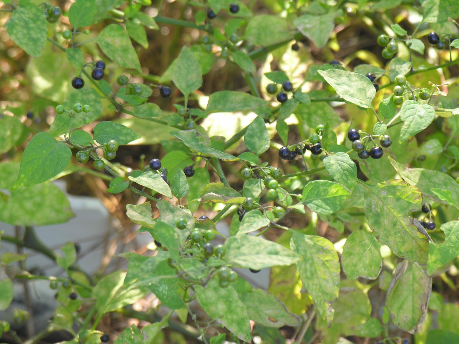 Michael Porter, Equine Veterinarian: Poisonous Plants Quiz