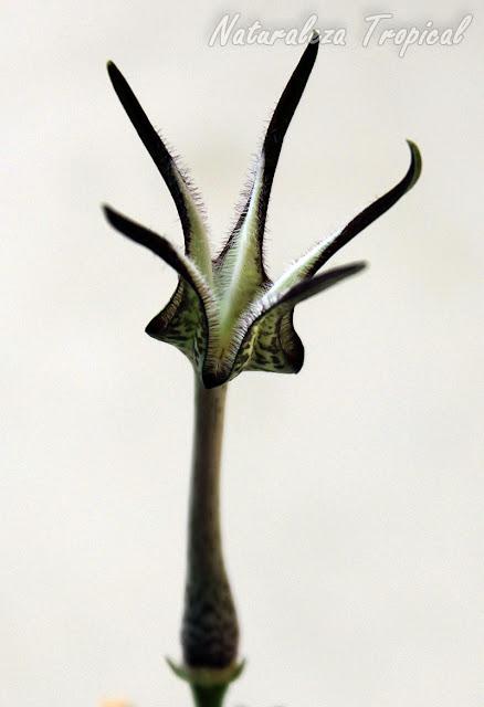 Detalles de la flor de la planta suculenta Ceropegia stapeliiformis
